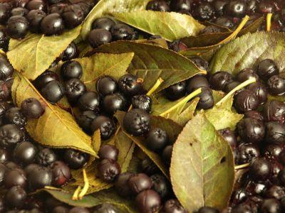 Gotująca się aronia z liśćmi w wiśni